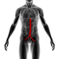Anatomical image of human aorta.