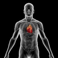 Anatomical image of human heart.