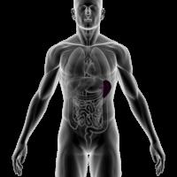 Anatomical image of human spleen.