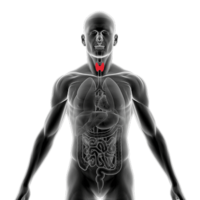 Anatomical image of human thyroid.